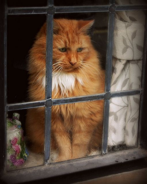 orange cat in window 10 7 2013